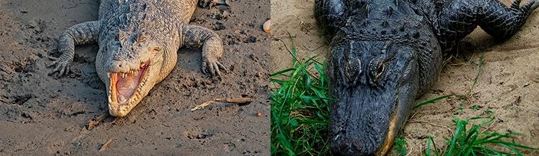 differenza tra coccodrilli e alligatori