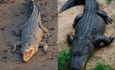 differenza coccodrillo alligatore
