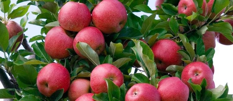 quiz albero di mele