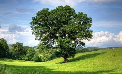 differenza tra quercia e rovere